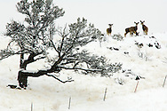 Mule Deer does (Odocoileus hemionus) after winter storm, with Black billed Magpie (Pica hudsonia) bird on head