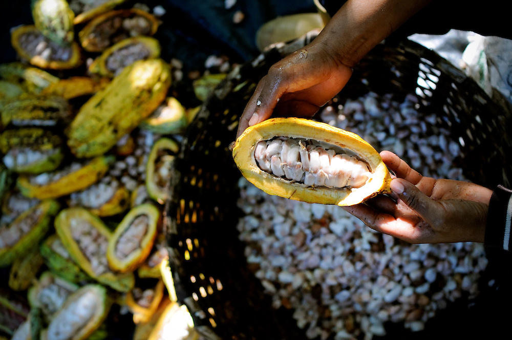 Workers harvest cacao, a high-quality bean used to make fine chocolate, at the Monterosa plantation on March 27, 2009 in Choroni, Venezuela.  Cacao is a labor-intensive crop, each pod is sliced open with a machete, then the beans are scooped out by hand, the same process harvesters used in the 18th century. Cacao growers are trying to revive the industry in face of challenges such as crop plagues, plantation seizures and government intimidation.