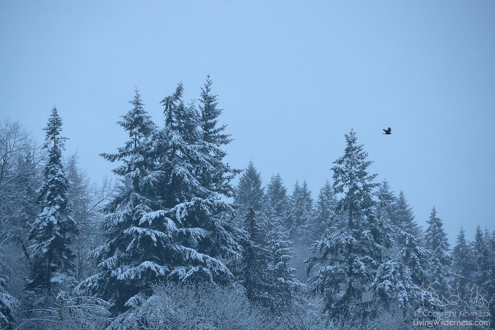 An American crow flies over evergreen trees blanketed in snow on a cold winter morning in Bothell, Washington.