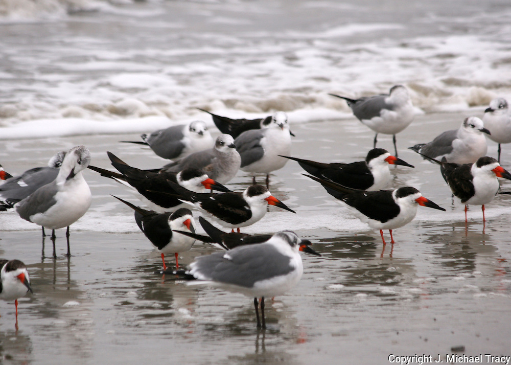 Assorted sea gulls, skimmers and terns on a remote part of Jekyll Island beach.