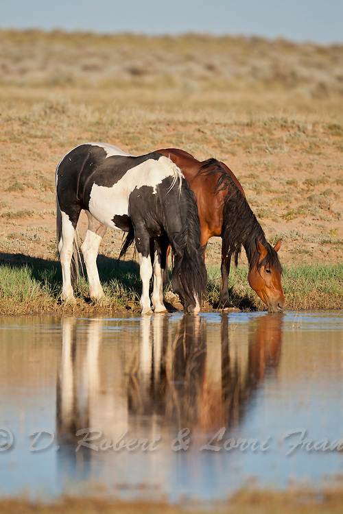 Wild mustangs drinking at Wyoming waterhole during the summer