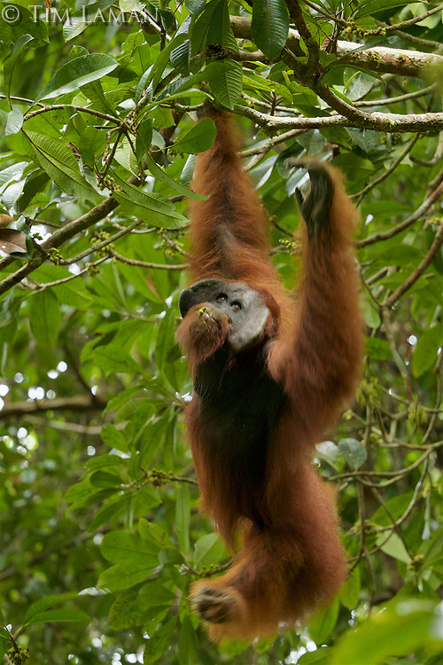 Bornean Orangutan - &quot;wurmbii&quot; subspecies<br />(Pongo pygmaeus wurmbii)<br /><br />Adult male &quot;Codet&quot; feeding on flowers of the Madhuca tree.<br /><br />Cabang Panti Research Station<br />Gunung Palung National Park<br />West Kalimantan, Indonesia<br />Borneo Island