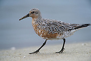 Red Knot (Calidris canutus)<br /> Little St Simon's Island, Barrier Islands, Georgia<br /> USA<br /> HABITAT &amp; RANGE: Feeding on Horseshoe crab eggs then migrate to Artic tundra to breed.