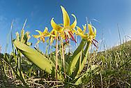 Glacier Lily (Erythronium grandiflorum), Mt. Ellis, Bozeman, Montana