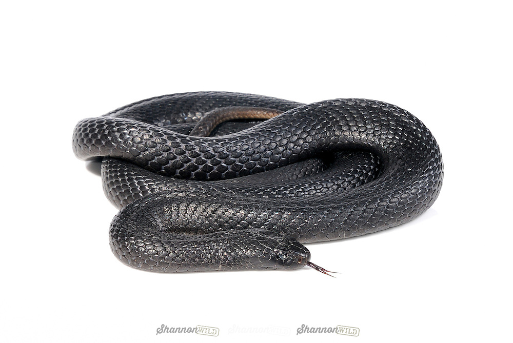 Spotted or Blue-bellied Black Snake .(Pseudechis guttatus)