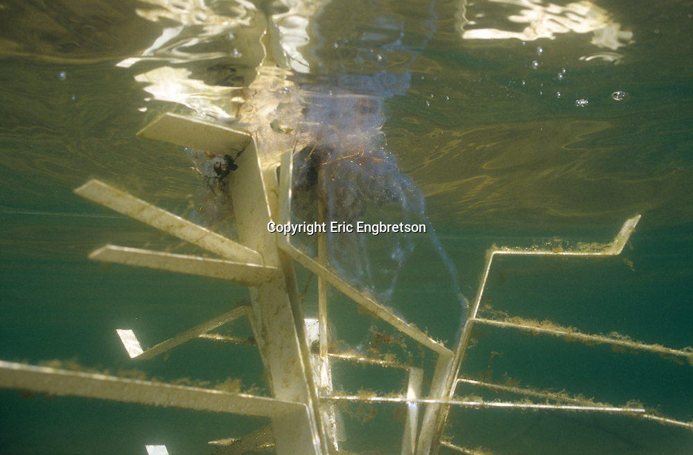 Unidentified amphibian eggs on a Fish Hiding Structure.<br /> <br /> ENGBRETSON UNDERWATER PHOTO