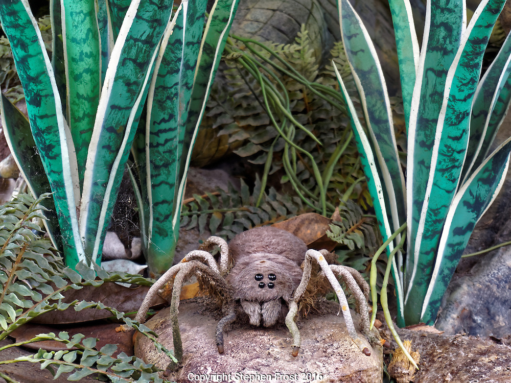 This model bird eating spider is in nature, the Goliath birdeater (Theraphosa blondi), a spider belonging to the tarantula family Theraphosidae. It is often considered to be the largest spider in the world.
