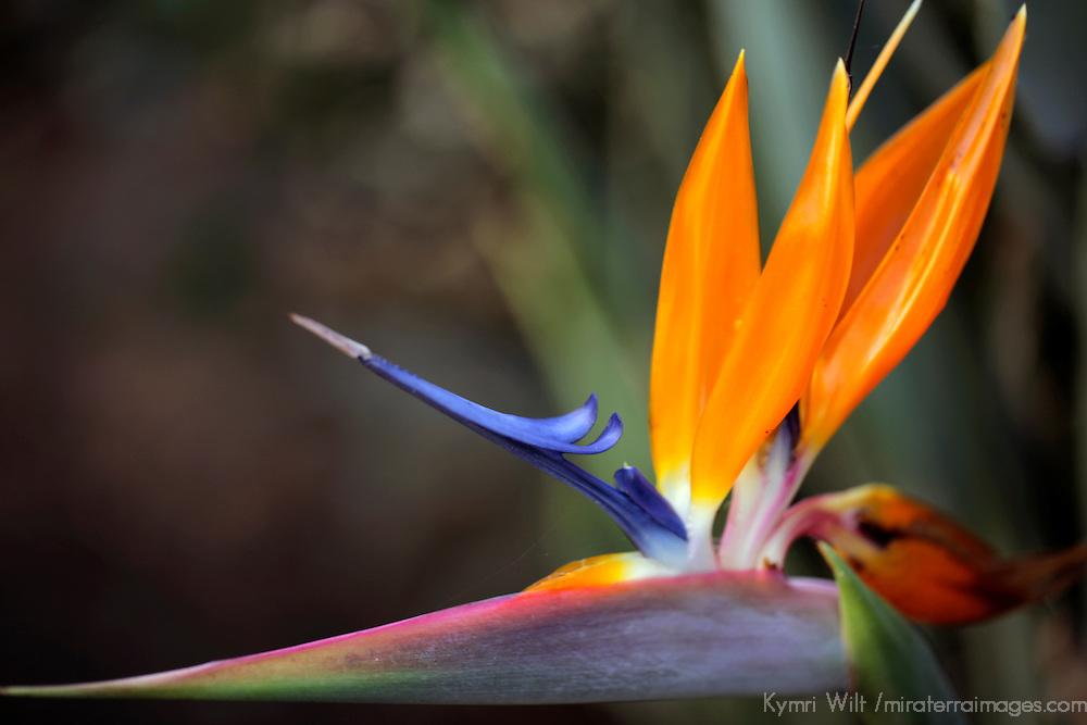 USA, California, San Diego. Bird of Paradise (Strelitzia reginae).