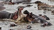 Hippos - Kiboko