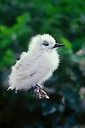 Common Fairy Tern chick (Gygis alba - AKA White Tern); Midway Island, Midway Atoll National Wildlife Refuge, Northwest Hawaiian Islands. .
