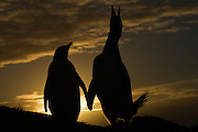 Gentoo Penguins (Pygoscelis papua) in sunset.<br /> West Falkland. FALKLAND ISLANDS.<br /> RANGE: Circumpolar in Subantarctic regions.<br /> These penguins are resident and breed in the Falklands. They are fairly widely distributed and form compact breeding colonies of 300-500 pairs. The breeding sites are usually situated on low, open coastal heath or grassland and usually 100's of meters inland. Some populations use same site annually while others progress inland selecting new sites each year which is why some colonies are up to 5 km inland. Breeding begins in late September when colonies are established. A clutch of 2 eggs is laid in mid October. Incubation is 33-34 days and young are fully moulted by late January and enter sea by early February. They feed extensively on Lobster Krill. Schooling fish and squid are also taken.