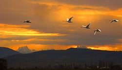 Trumpeter Swans (Cygnus buccinator) fly past as morning light streams through clouds silhouetting Whitehorse Mountain in the Cascade Range as seen from Fir Island in the Skagit River Delta, WA, USA,