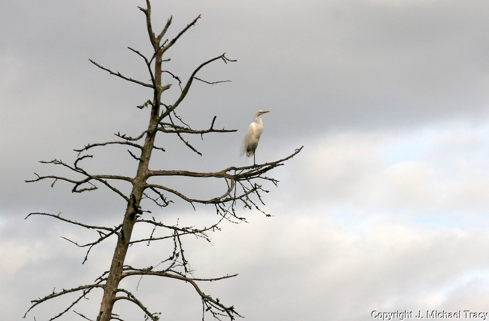 A Great Egret standing sentinel in an old dead tree alone in a Jekyll Island swamp.