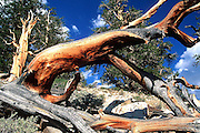 Ancient Bristlecone Pine in the White Mountains on the California-Nevada Border