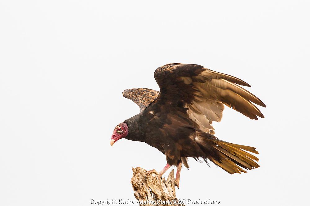 Turkey vulture, Cathartes aura, perched, San Jose Ranch, near Laredo, Texas.