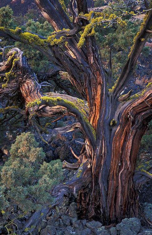 Western Juniper tree, Lava Beds National Monument, California.