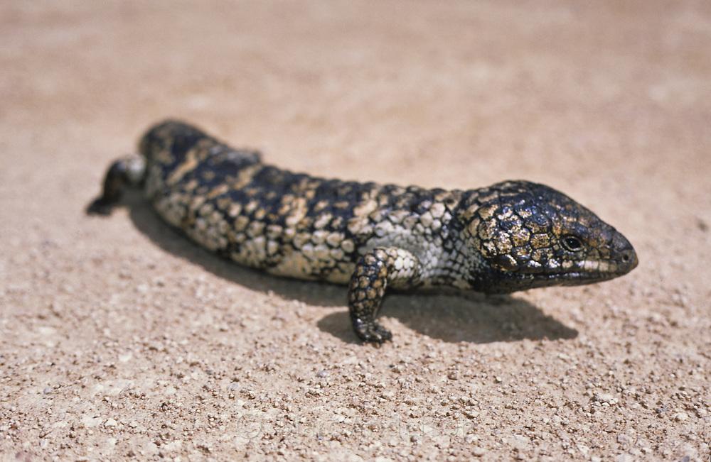 Shingleback Lizard, Tiliqua rugosa, Australia.