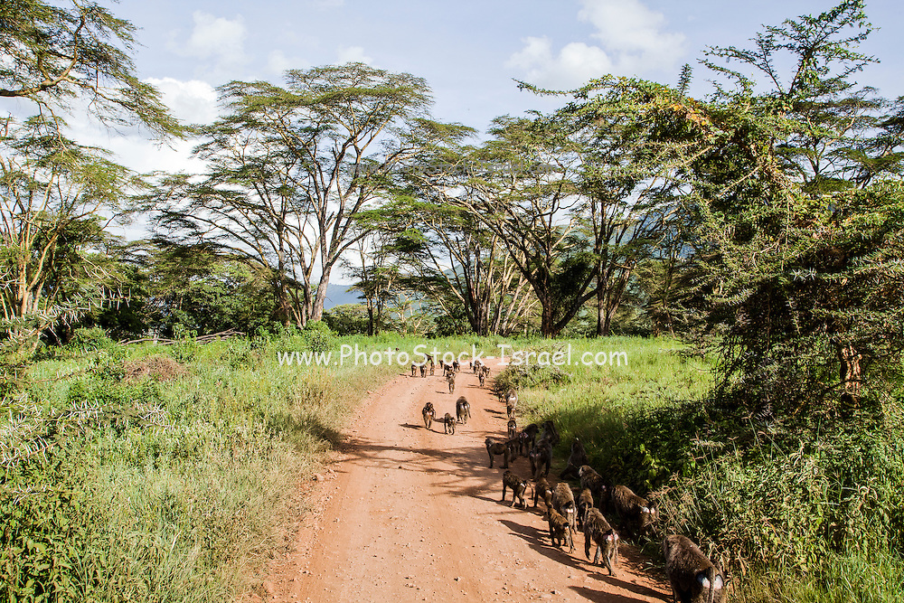Olive Baboon (Papio anubis) herd walk on a path between acacia trees. Photographed in Kenya