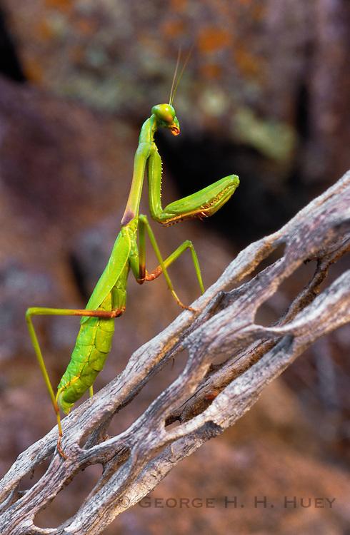 350104-1005C ~ Copyright:  George H. H. Huey ~ Praying mantis on decaying cholla cactus stem.  Sonoran Desert, Arizona.