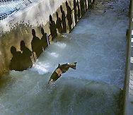 A  Chinook salmon nears the end of the journey from the ocean to the waters of the American River and the Nimbus fish hatchery. The annual migration of the salmon up the American River to the fish hatchery is facilitated by opening the gates of the fish ladder. Approximately 700 fish a day will be allowed to progress up the ladder from now until mid-December when the steelhead salmon run begins.