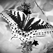 Tiger Swallowtail, inverted, softened and photomanipulated.