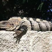 A large, wild, Iguana sunning itself on a concrete wall in Mexico.
