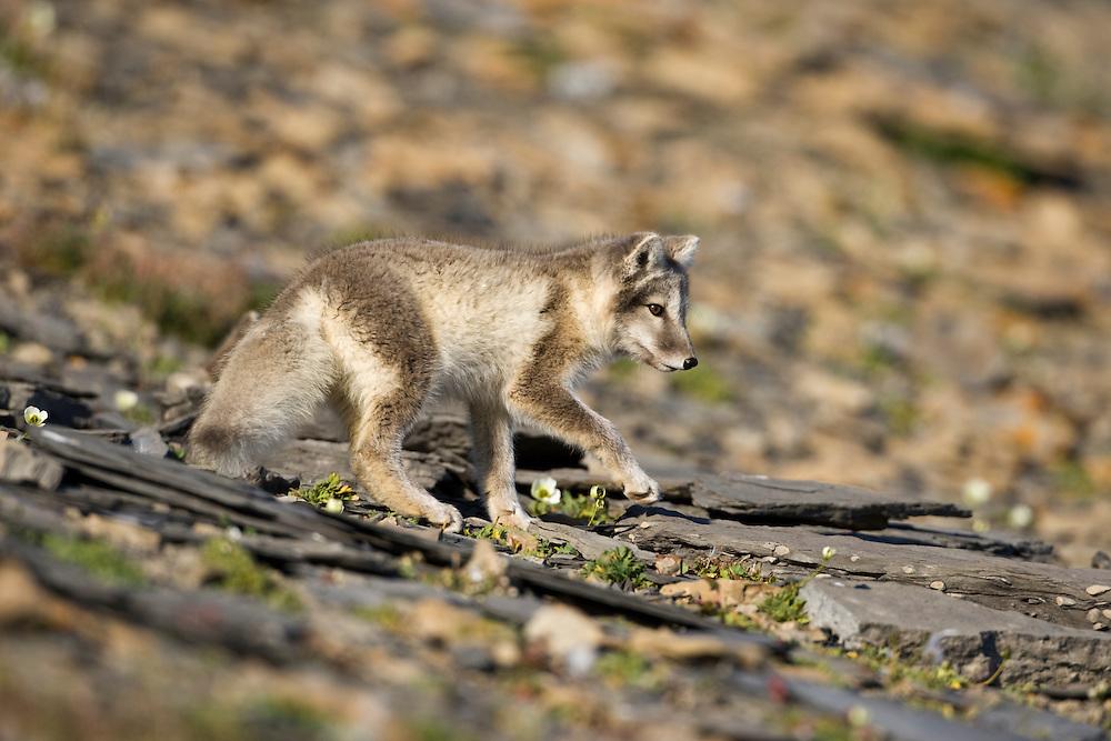 Norway, Svalbard, Edgeoya Island, Arctic Fox (Vulpes lagopus) Kit walking on hillside along Diskobukta Bay