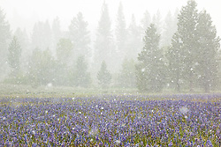 """Snowy Sagehen Meadows 2"" - This field of Camas wildflowers was photographed during a snow storm at Sagehen Meadows, near Truckee, California."