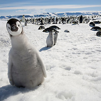 Antarctica, Snow Hill Island, Emperor Penguin Chick (Aptenodytes forsteri) standing in snow on frozen sea ice on sunny afternoon