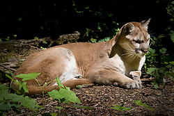 A cougar lies in the sun.