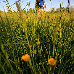 A man walks through a hay field at Raspberry Farm in Hampton Falls, New Hampshire.