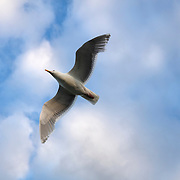 A western gull (Larus occidentalis) flies overhead against cumulus clouds over Puget Sound in Edmonds, Washington.