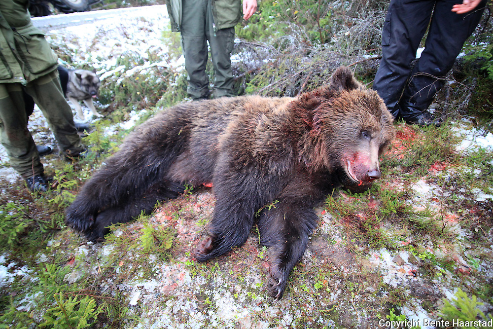 This male brown bear was 199 kilos when it was shot by norwegian hunters in 2009.