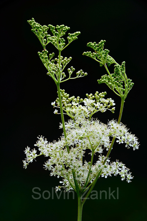 Echtes Mädesüß, Mädesüss (Filipendula ulmaria)