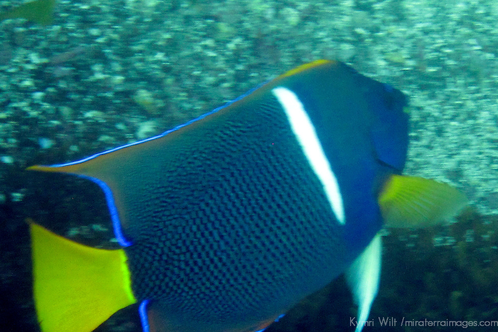 South America, Ecuador, Galapagos, Floreana. King Angelfish.