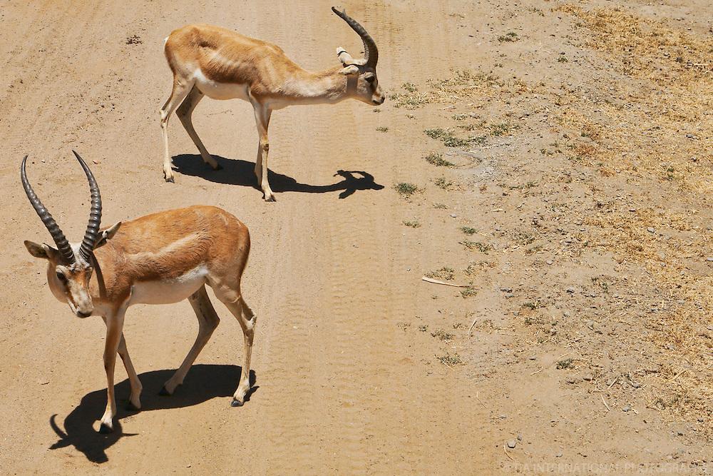 Junior Spiral-Horned Antelope