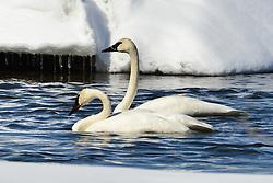 Trumpeter swans, McIntyre Creek, Whitehorse, Yukon