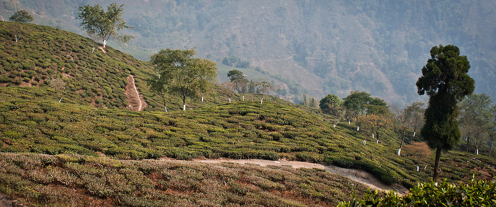 A path winds through tea fields in Darjeeling, India, against a backdrop of mountains in the distance.