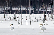 Montgomery, New York - Birds in a wetland on March 21, 2015.