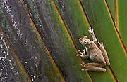 Gladiator Tree Frog (Hyla rosenbergi)<br /> Cayapas Reserve<br /> North West Ecuador &amp; Colombia<br /> South America