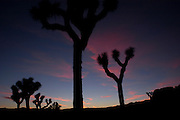 Joshua Trees at Joshua Tree National Park, California, USA