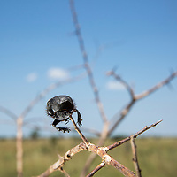South Africa, Kruger National Park, Dung Beetle, (Scarabeus sp.) impaled on sharp thorn by Southern Fiscal Shrike (Lanius collaris)