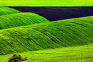 Green wavy fields sown with wheat