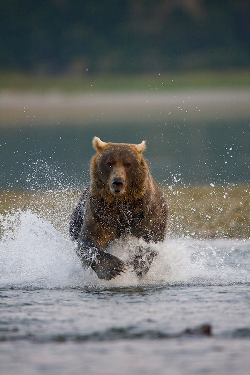 USA, Alaska, Katmai National Park, Kukak Bay, Brown Bear (Ursus arctos) chases spawning salmon in small stream at dusk on late summer evening