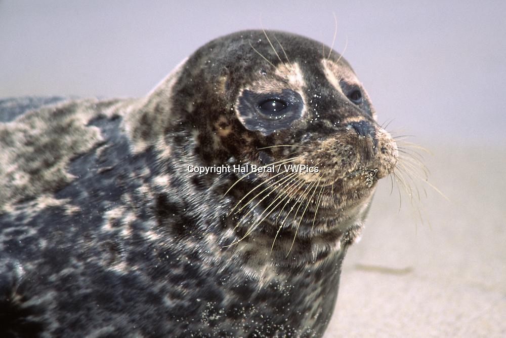 Harbor Seal resting on the beach-closeup.(Phoca vitulina).LaJolla,California