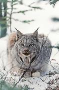 Alaska. Yanert Valley, near Denali NP. Lynx , (Lynx canadensis) in winters snow.