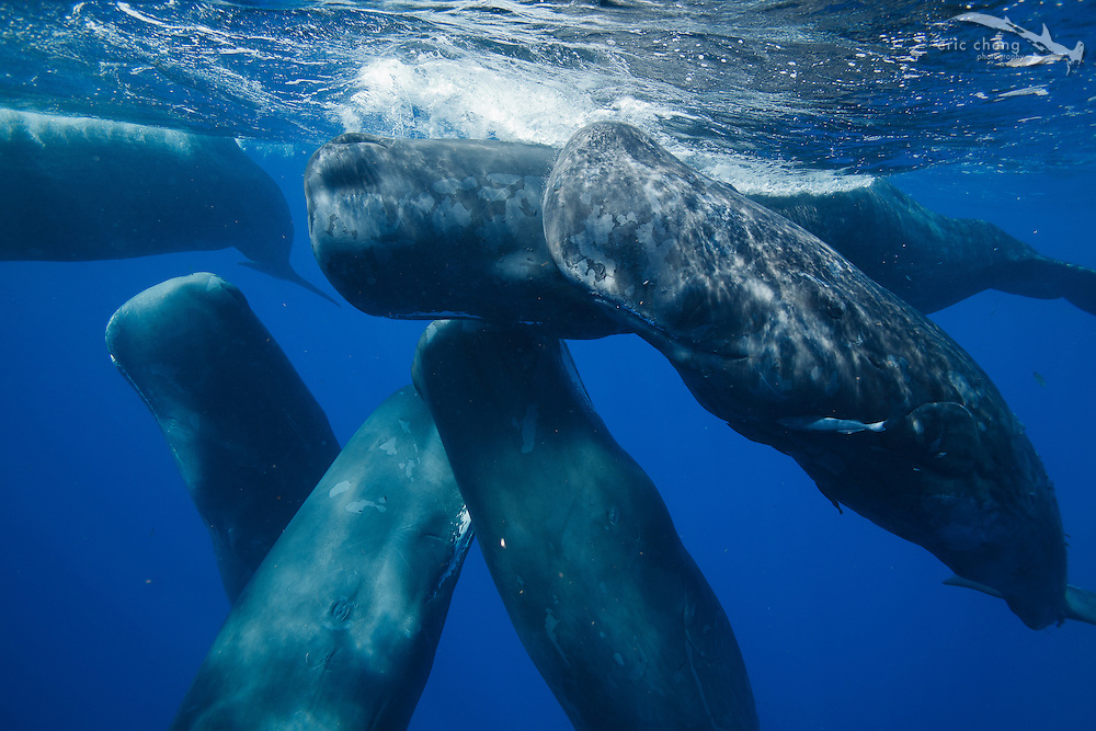 Six sperm whales (Physeter macrocephalus) rub up against each other while socializing. In total, there were eleven whales together.