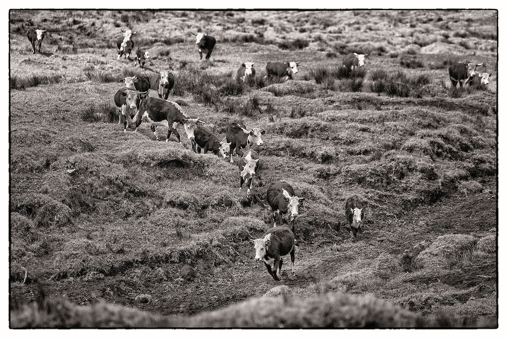 Wild cattle come over hill on slopes of Mauna Kea at around 6800 feet elevation.
