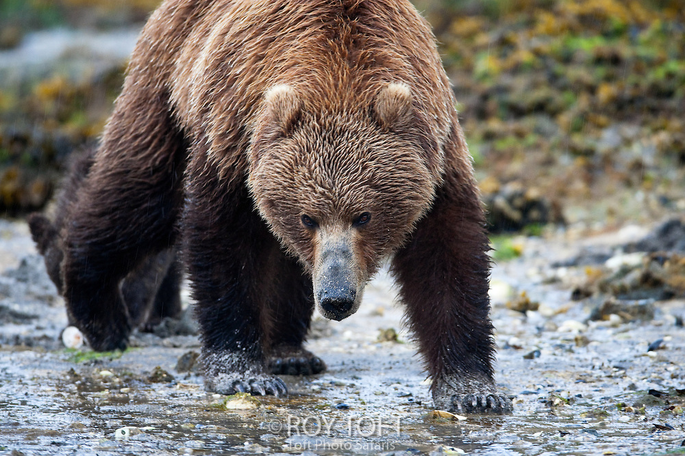 Adult brown bear (Ursus arctos) walking along the shoreline looking for fish, facing camera, Alaska.