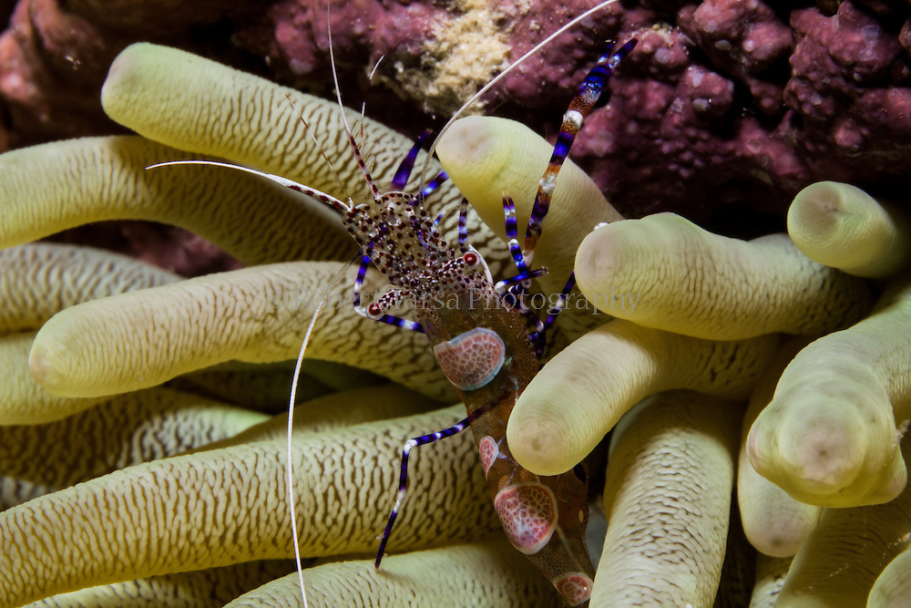 Macro photo of spotted cleaner shrimp on anemone.